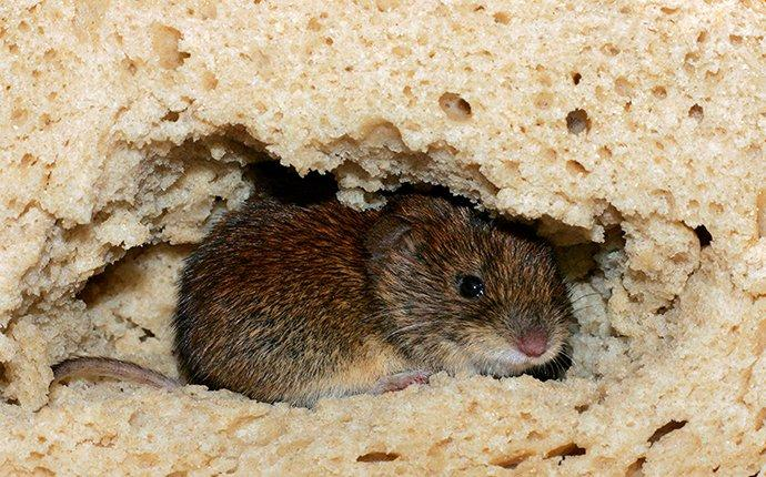 a house mouse crawling through and eating bread