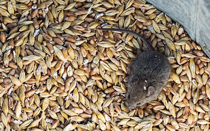 a house mouse crawling in grains