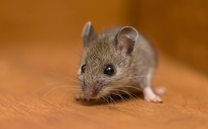 little house mouse up close