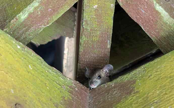 mouse peeking its head out between beams in the attic