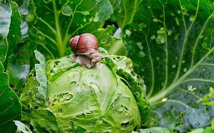 snail crawling on a head of lettuce
