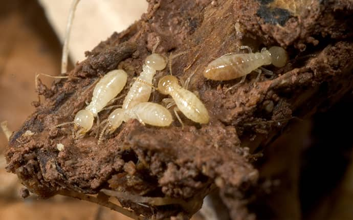 subterranean termites on a piece of wood
