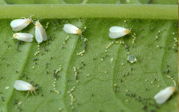 a cluster of white flies and their eggs on a leaf