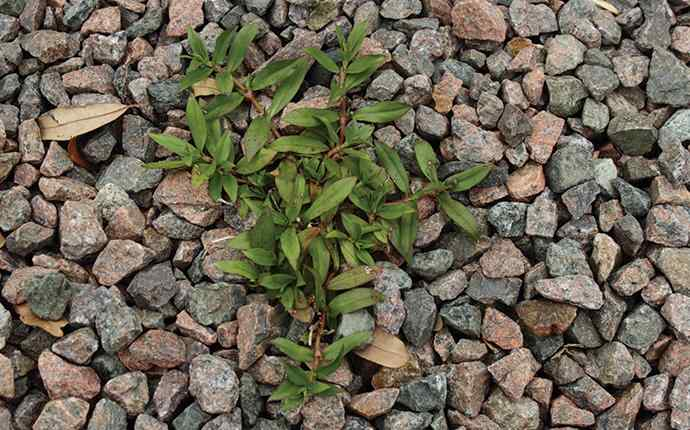 virginia button weed coming through small rocks near patio