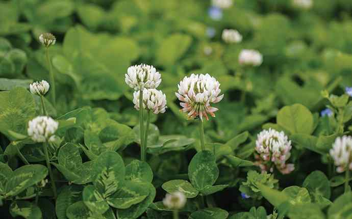clover in a lawn