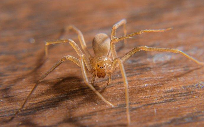 brown recluse on wooden table