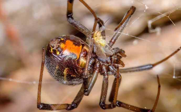 black widow spider eating a fly