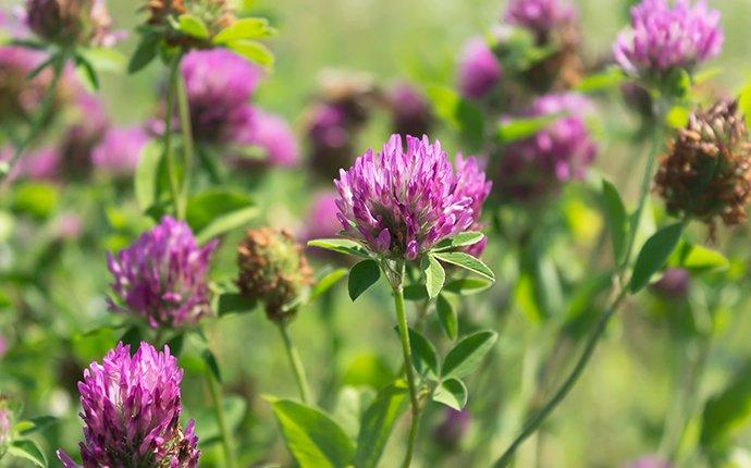 purple clover weeds