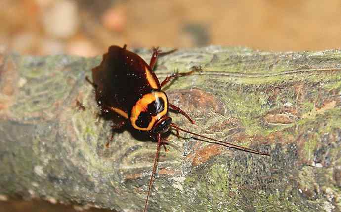 an american cockroach on a tree