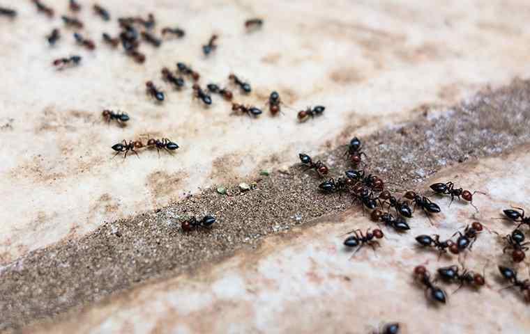 pavement ants on a sidewalk