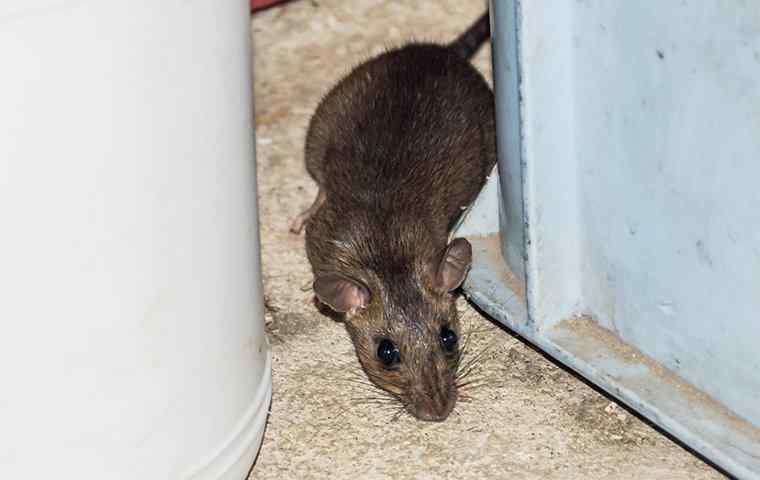 rodent in commercial building