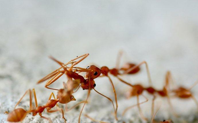 fire ants on concrete