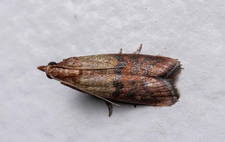 indian meal moth in a pantry