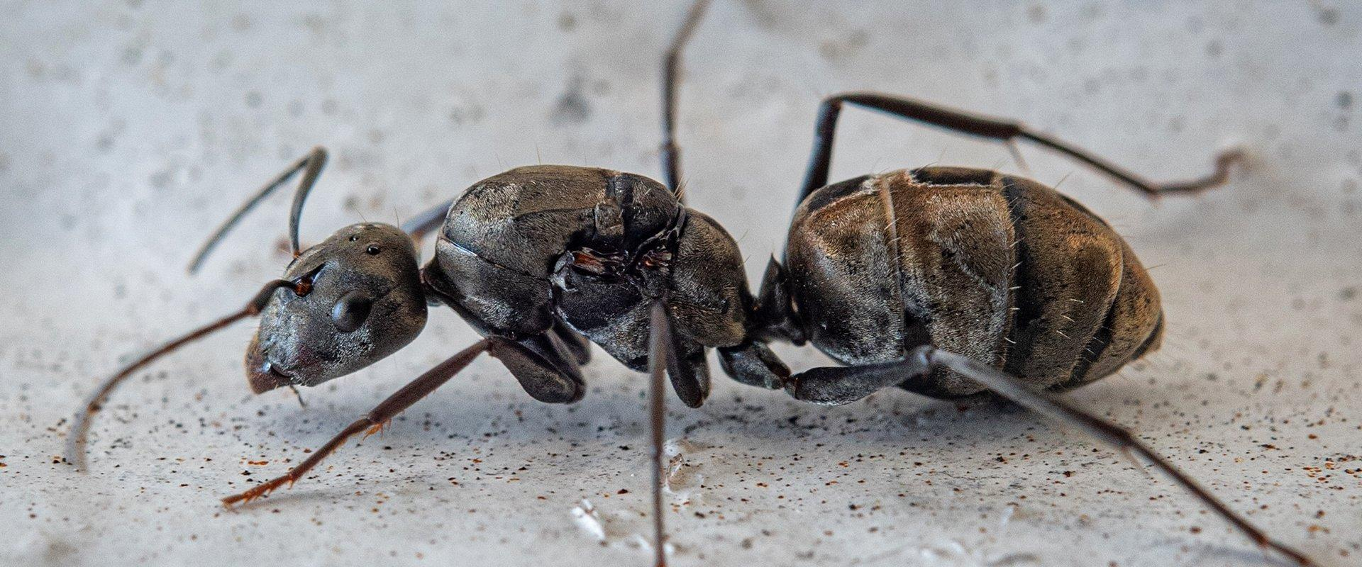 carpenter ant in basement