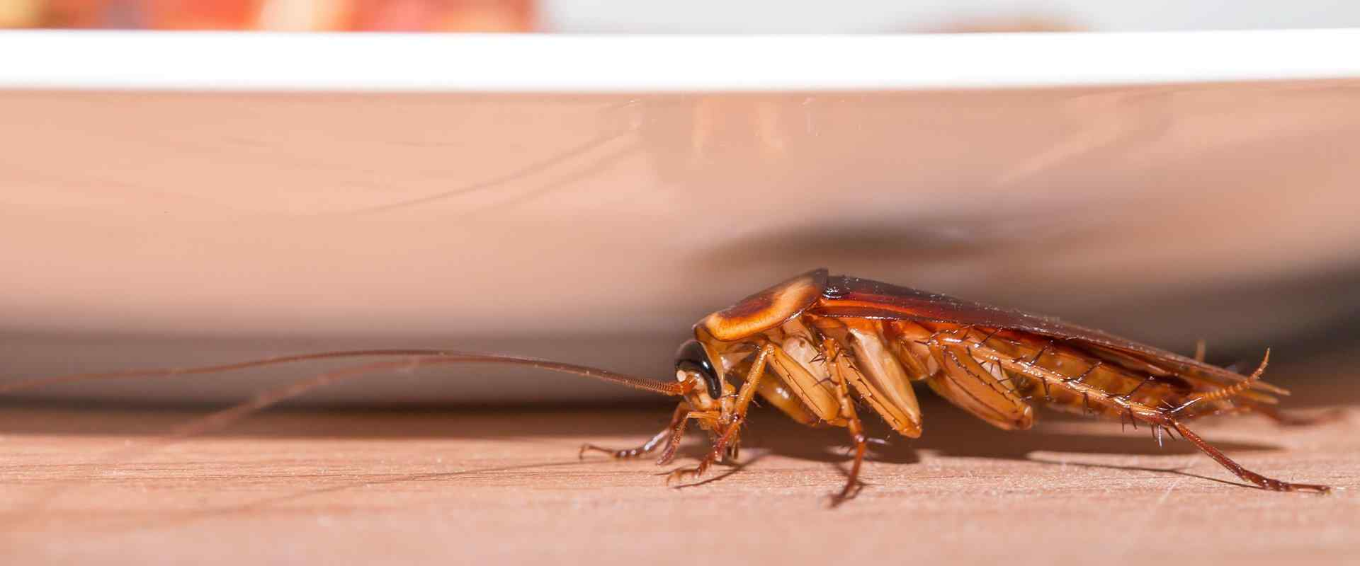 cockroach on kitchen counter