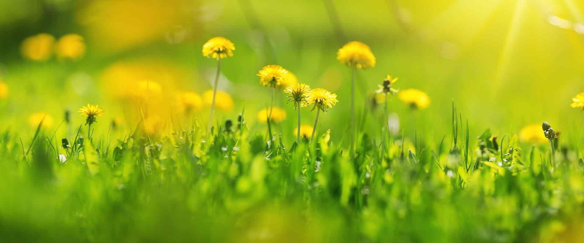 dandilions in a field