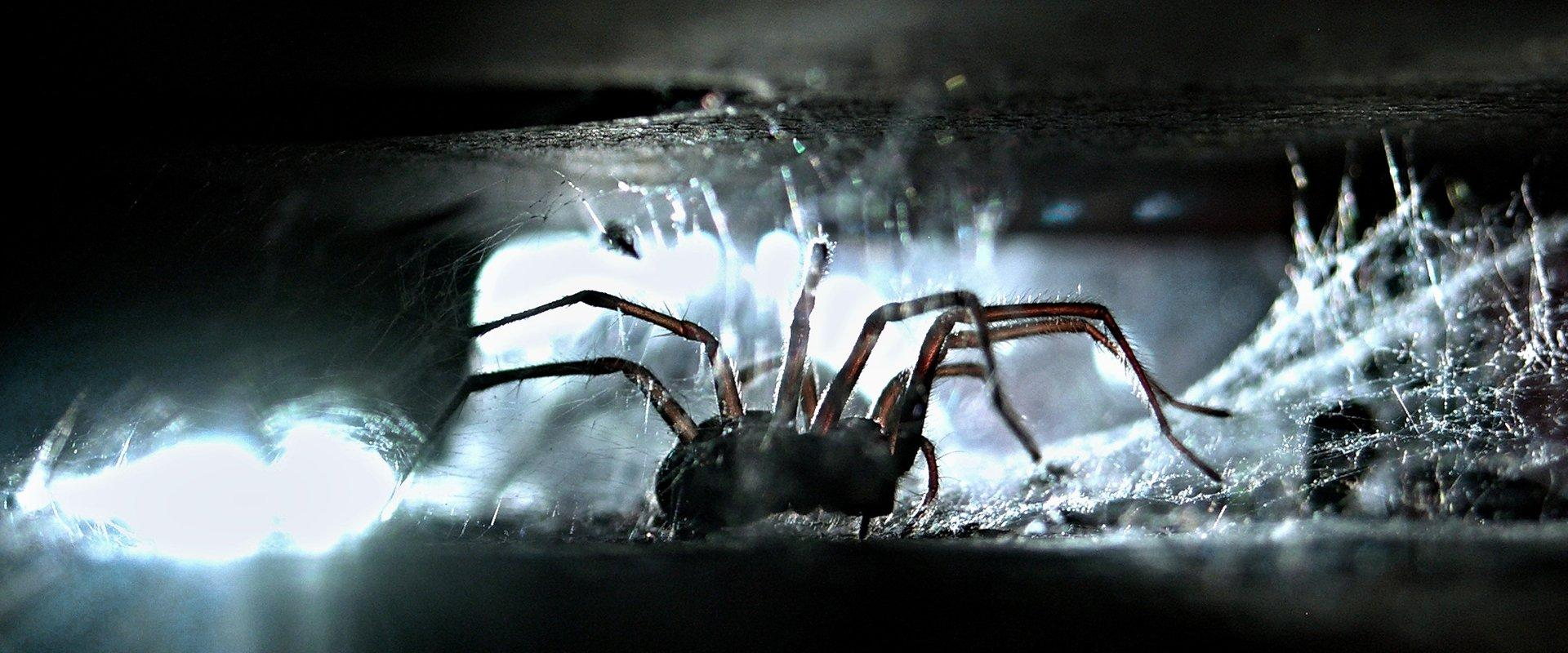 brown recluse spider on paper towel
