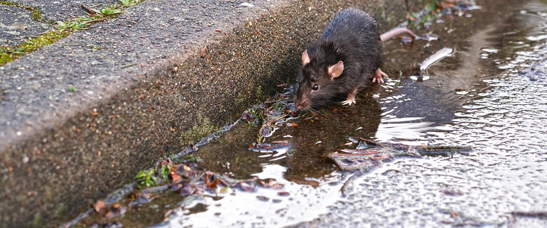 rat by sidewalk