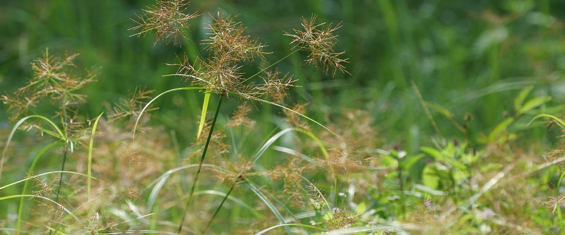 sedge weed in pasture