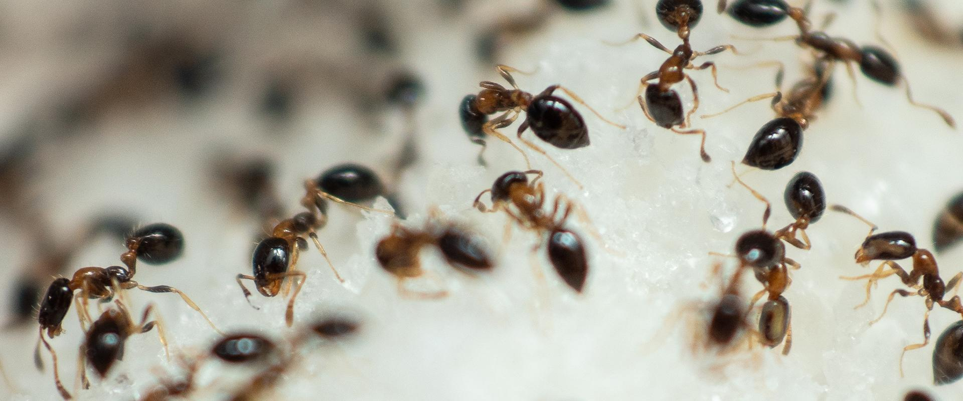 ants eating sugar