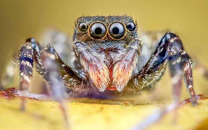 a jumping spider crawling on a leaf in juno beach florida
