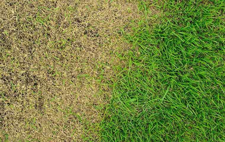 dry spots in a lawn due to the climate
