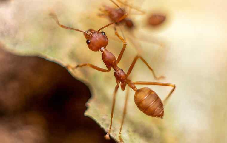 a fire ant outside a home in west palm beach