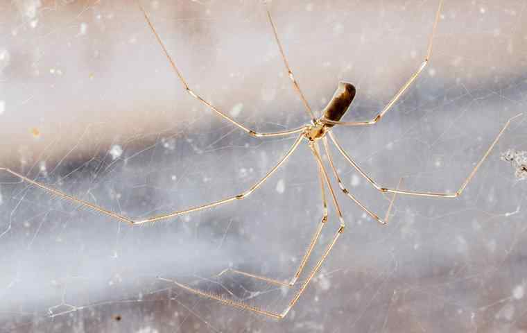 daddy long leg spider in window