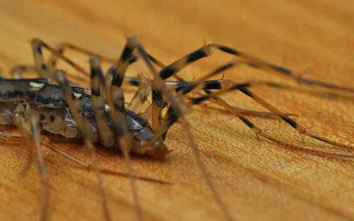 a house centipede crawling on a wood floor