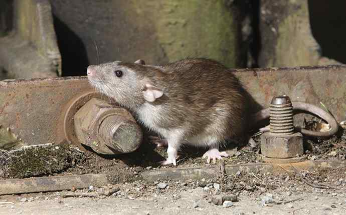 a roof rat in a shed