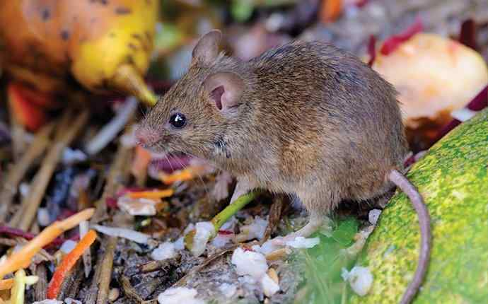 a small mouse in some scrap food