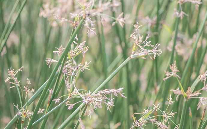 sedge weeds around a house