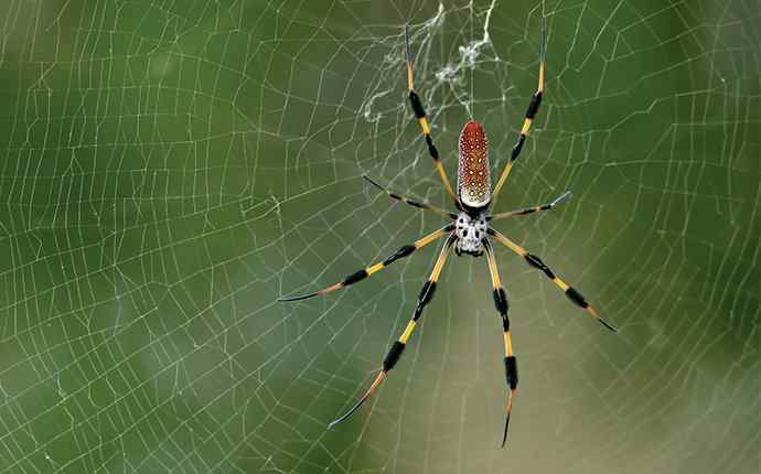 banana spider hanging out in its web