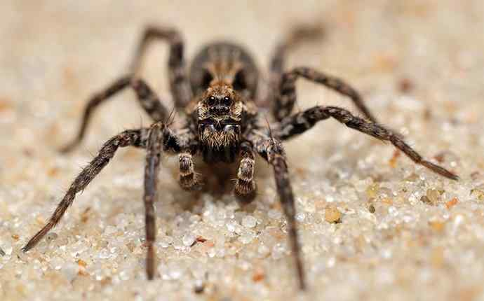a wolf spider in the sand