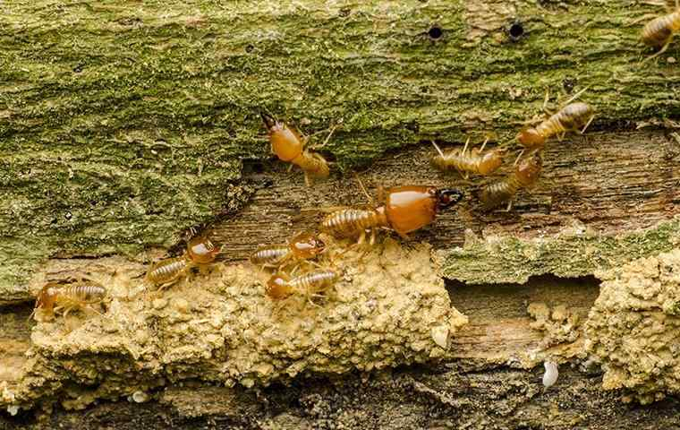 drywood termites on some wood