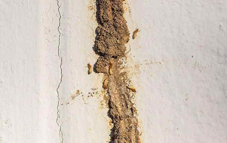 subterranean termites in a mud tube