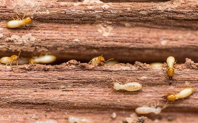 termites destorying wood in west palm beach florida