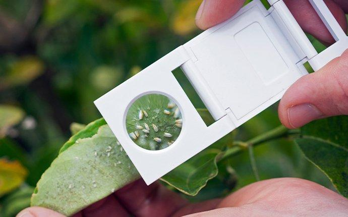 inspecting whitefly infested plant