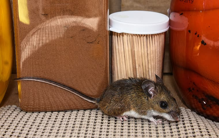 a mouse crawling on a kitchen surface inside of a home in mishawaka indiana