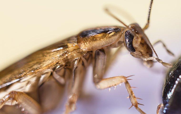 a german cockroach infestation in a restaurant