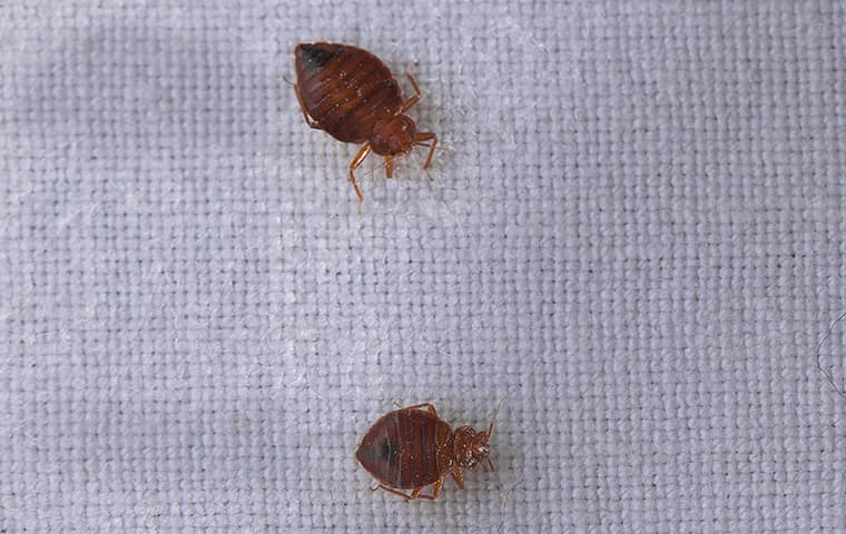 twp bed bugs crawling on a surface inside of a home in mishawaka indiana