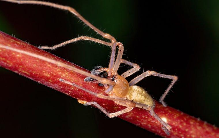 a yellow sac spider crawling on a stem