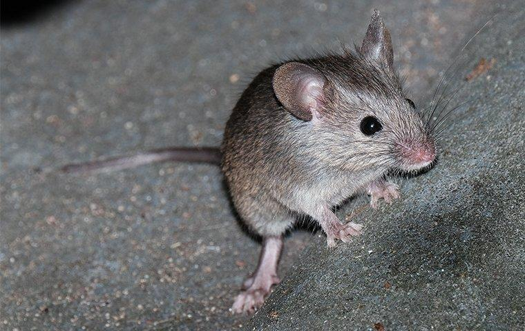 a mouse inside of a home in hammond indiana
