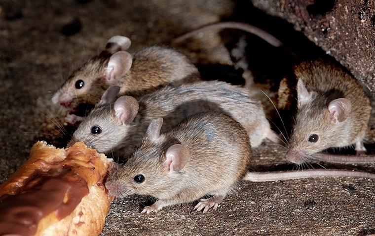 a group of mice foraging for food outside of a home in edwardsburg michigan