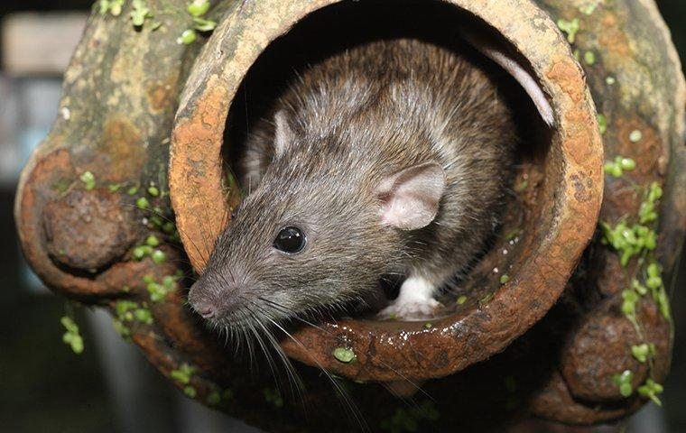 a norway rat emerging from a drain pipe outside of a home in michigan city indiana