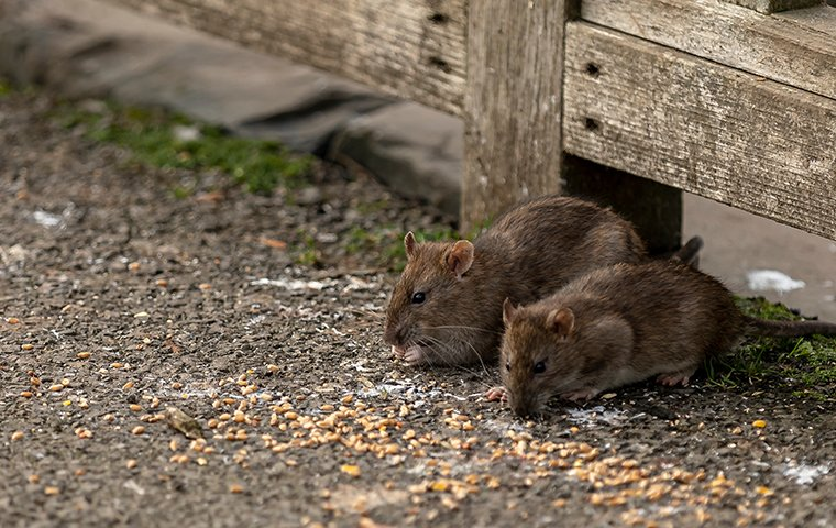 two norwats rats foraging for food outside of a home in new buffalo michigan