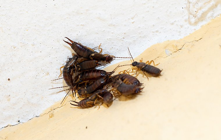 a group of earwigs inside of a home in chesterton indiana