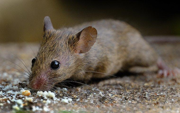 a mouse crawling on the ground outside of a home in goshen indiana