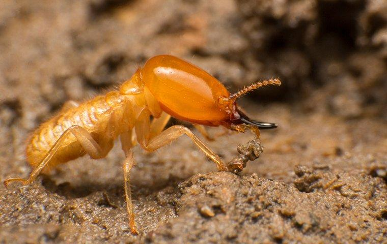 a termite crawling on the ground outside of a home in portage indiana
