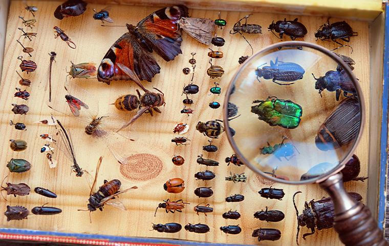 top view of an insect collection display case with a magnifying glass held above it